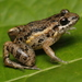Forest Chirping Frog - Photo (c) Juan Sebastian Forero Rodriguez, some rights reserved (CC BY-NC)