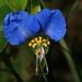 Hierbas del Pollo - Photo (c) John Brandauer, algunos derechos reservados (CC BY-NC-ND)