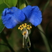 Dayflowers - Photo (c) John Brandauer, some rights reserved (CC BY-NC-ND)