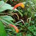 Centropogon ferrugineus - Photo (c) Dick Culbert, algunos derechos reservados (CC BY)