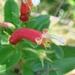 Centropogon cornutus - Photo (c) João Medeiros, algunos derechos reservados (CC BY)