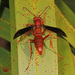Fine-backed Red Paper Wasp - Photo (c) Judy Gallagher, some rights reserved (CC BY), uploaded by Judy Gallagher