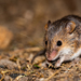Tiny Pygmy Mouse - Photo (c) david_taylor, some rights reserved (CC BY-NC)
