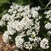 Perennial Candytuft - Photo (c) Dean Morley, some rights reserved (CC BY-ND)