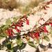 Penstemon cardinalis - Photo (c) Logan Crees,  זכויות יוצרים חלקיות (CC BY-NC)