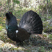 Capercaillies and Black Grouse - Photo (c) Terje Asphaug, some rights reserved (CC BY)