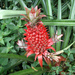 Red Pineapple - Photo (c) Ruth Ripley, some rights reserved (CC BY-NC)