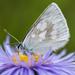 Azulada Alpina - Photo (c) sylviasheets, algunos derechos reservados (CC BY-NC)