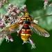 Milesia crabroniformis - Photo (c) Marcello Consolo, μερικά δικαιώματα διατηρούνται (CC BY-NC-SA)