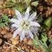 Passiflora chrysophylla - Photo (c) Roberto Guller, algunos derechos reservados (CC BY-NC-ND)