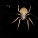 Tropical Orbweaver - Photo (c) VinceFL, some rights reserved (CC BY-NC-ND)