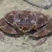 Atergatis floridus - Photo (c) budak,  זכויות יוצרים חלקיות (CC BY-NC)