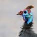Numida meleagris mitratus - Photo (c) maritzasouthafrica,  זכויות יוצרים חלקיות (CC BY-NC)