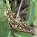 Baeacris punctulata - Photo (c) fmorales11, algunos derechos reservados (CC BY-NC)