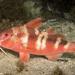Bluestriped Goatfish - Photo (c) Erik Schlogl, some rights reserved (CC BY-NC)