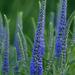 Veronica spicata - Photo (c) rosepetal236, algunos derechos reservados (CC BY-NC-SA)