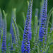 Spiked Speedwell - Photo (c) rosepetal236, some rights reserved (CC BY-NC-SA)
