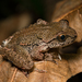 Coastal Tailed Frog - Photo (c) Tony Iwane, some rights reserved (CC BY-NC)
