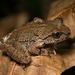 Ascaphus truei - Photo (c) Tony Iwane, algunos derechos reservados (CC BY-NC)