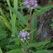 Saussurea alpina - Photo (c) Kari Pihlaviita, algunos derechos reservados (CC BY-NC)