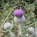 Cirsium eriophorum - Photo (c) Nuytsia@Tas, algunos derechos reservados (CC BY-NC-SA)