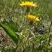 Scorzonera humilis - Photo (c) Oskar Gran,  זכויות יוצרים חלקיות (CC BY-NC)