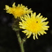 Marsh Sow-Thistle - Photo (c) HermannFalkner/sokol, some rights reserved (CC BY-NC-SA)