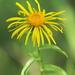 Pentanema salicinum - Photo (c) HermannFalkner/sokol, algunos derechos reservados (CC BY-NC-SA)