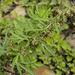 Artemisia verlotiorum - Photo (c) Tony Rodd, algunos derechos reservados (CC BY-NC-SA)