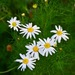 Scentless Mayweed - Photo (c) Radio  Tonreg, some rights reserved (CC BY)