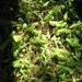 Leptinella dioica - Photo (c) Jon Sullivan,  זכויות יוצרים חלקיות (CC BY-NC)