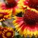 Gaillardia × grandiflora - Photo (c) enbodenumer, μερικά δικαιώματα διατηρούνται (CC BY-NC-SA)
