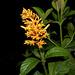 Palicourea triphylla - Photo (c) Reinaldo Aguilar, algunos derechos reservados (CC BY-NC-SA)