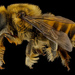 Megachile fortis - Photo Sem direitos reservados, uploaded by Sam Droege