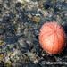 Echinoneus cyclostomus - Photo (c) Erasmo Macaya, algunos derechos reservados (CC BY-NC)