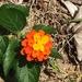 Λαντάνα Η Ορθόκλαδη - Photo (c) 許湲涓, μερικά δικαιώματα διατηρούνται (CC BY-NC)