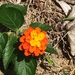 Common Lantana - Photo (c) 許湲涓, some rights reserved (CC BY-NC)