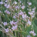Carolina Sea Lavender - Photo (c) Anita Gould, some rights reserved (CC BY-NC), uploaded by Anita