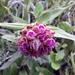 Elleanthus capitatus - Photo (c) Angel Toaquiza, algunos derechos reservados (CC BY-NC-SA)