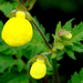Calceolaria - Photo (c) James Gaither,  זכויות יוצרים חלקיות (CC BY-NC-ND)
