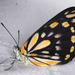 Whites, Yellows, and Sulphurs - Photo (c) Victor W Fazio III, some rights reserved (CC BY-NC)