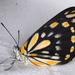 Blancas, Amarillas Y Azufres - Photo (c) Victor W Fazio III, algunos derechos reservados (CC BY-NC)
