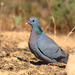 Stock Dove - Photo (c) Carles Pastor, some rights reserved (CC BY-SA)