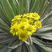Espeletia corymbosa - Photo (c) Quimbaya, alguns direitos reservados (CC BY-NC-ND)
