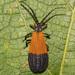 Lycidae - Photo (c) Fyn Kynd,  זכויות יוצרים חלקיות (CC BY-SA)