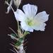 Monsonia - Photo (c) billy liar, μερικά δικαιώματα διατηρούνται (CC BY-NC-SA)