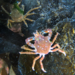 Graceful Kelp Crab - Photo (c) craigpigott, some rights reserved (CC BY-NC)