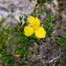 Hibbertia hypericoides hypericoides - Photo (c) Timothy Hammer, osa oikeuksista pidätetään (CC BY)