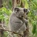 Koala - Photo (c) toohey-forest-wildlife, algunos derechos reservados (CC BY-NC)