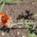 Sphaeralcea australis - Photo (c) Pete Woodall, algunos derechos reservados (CC BY-NC)